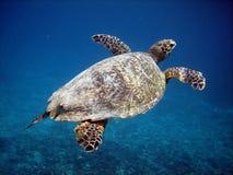 Seeschildkröte Stockfoto