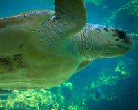Seeschildkröte-Abschluss oben Stockbilder