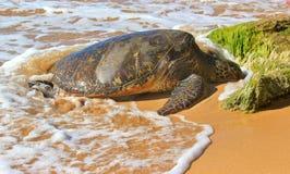 Seeschildkröte auf dem Ufer Lizenzfreies Stockfoto