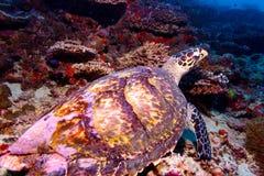 Seeschildkröte auf korallenrotem tropischem Riff Stockbild