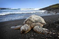 Seeschildkröte auf Strand Stockfotografie