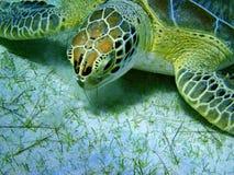 Seeschildkröte, die Gras auf sandigem Meeresgrund isst Stockfotografie