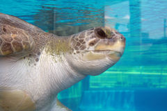 Seeschildkröte an einem Aquarium Lizenzfreies Stockfoto