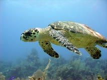 Seeschildkröte gleitet über einem schönen Korallenriff Stockfotos