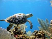 Seeschildkröte gleitet über einem schönen Korallenriff Lizenzfreie Stockfotos