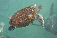 Seeschildkröte im Wasser stockbilder
