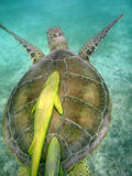 Seeschildkröte mit dem Remora angebracht in Mexiko Stockfotografie