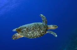 Seeschildkröte, St Lucia stockbilder