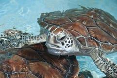 Seeschildkröteabschluß Lizenzfreie Stockfotos