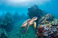 Seeschildkröteriff Stockbilder