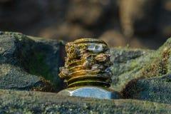 Seeschnecken, die auf Rusty Metal Screw leben Stockbilder