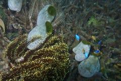 Seeschwämme und -koralle vor Balicasag-Insel, Bohol Philippinen Stockfoto