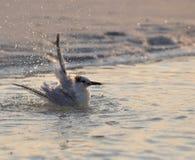 Seeschwalbe, die ein Bad nimmt Lizenzfreies Stockfoto