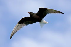 Seeschwalbe im Flug Lizenzfreies Stockbild