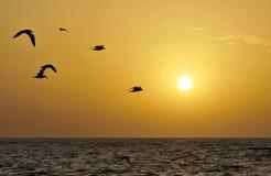Seeschwalben in der Fliege an der Dämmerung Stockfotos