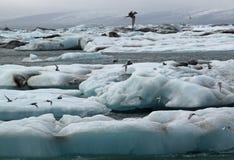 Seeschwalben, die bei Jokulsarlon einziehen Stockfotografie