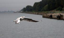 Seeschwalbenflugwesen über dem Wasser Lizenzfreie Stockbilder