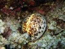 Seeshell auf Koralle Stockfotos