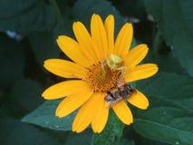 Seespinne und Biene auf einem flover lizenzfreie stockbilder
