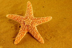 SeeStarfish Lizenzfreies Stockbild