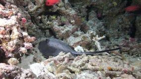 Seestechrochen auf Hintergrundschule von roten Fischen und von Korallen Unterwasser in Malediven stock footage