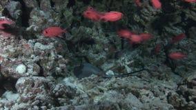 Seestechrochen auf Hintergrundschule von roten Fischen und von Korallen Unterwasser in Malediven stock video footage