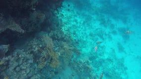 Seestechrochen und andere Fische, die nahe Korallenriffen schwimmen stock footage