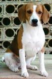 Seet beagle Royalty Free Stock Image