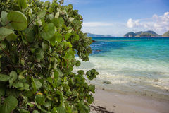 Seetrauben-Blätter mit Karibischen Meeren im Hintergrund lizenzfreies stockfoto