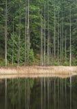 Seeufer Zeder-Bäume lizenzfreies stockbild