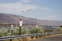Seevögel über dem Columbia River Stockfotos
