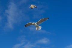 Seevogel, der über Fischereihafen Porthlevan fliegt Lizenzfreie Stockfotografie