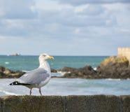 Seevogel, der auf einer Wand stillsteht Lizenzfreie Stockfotografie