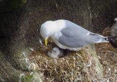 Seevogel, der junges Baby auf Nest, Island einzieht stockfotos