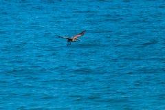 Seevogel, der nach Lebensmittel sucht stockfotografie