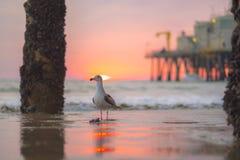 Seevogel, der Santa Monica Sunset versperrt Stockfotos