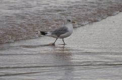Seevogel, der am Ufer watet Lizenzfreies Stockbild