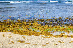 Seeweeds on Martins Bay beach on Barbados East Coast Stock Photo