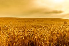 Segale-campo di grano immagine stock