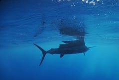 Segelfischfischschwimmen im Ozean Lizenzfreie Stockfotografie