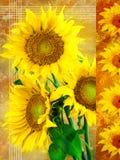 Segeltuchsonnenblumen-Reihenrecht stockfotografie