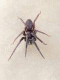 Segestria florentina - aka web or cellar spider. Royalty Free Stock Image