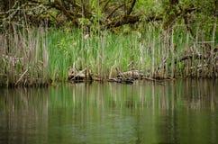 Seggereflexionen im Wasser nahe Sammamish-Flussquelle in Marymo Lizenzfreies Stockbild