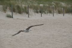 Seglingseagull på stranden Royaltyfria Bilder