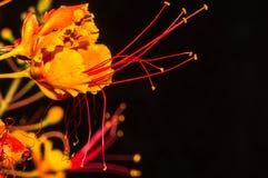 Segmentos hermosos de la flor mexicana de la ave del paraíso Fotografía de archivo