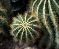 Cactus With Ridges And Spines. Segments of cactus variety with vertical ridges with spines growing in greenhouse stock photo