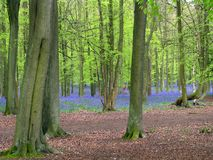 Segnalatori acustici blu nella foresta Fotografia Stock Libera da Diritti