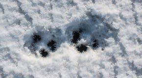 Segni congelati della zampa Fotografia Stock