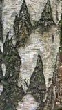 Segni strutturati su un albero di betulla d'argento fotografia stock libera da diritti