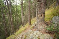 Segno del picchio dentro una foresta tipica delle alpi italiane Fotografia Stock Libera da Diritti